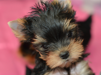 Yorkie Puppies For Sale by best Yorkie breeder