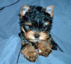 Yorkie Puppy Picture