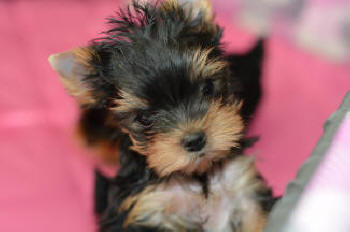 picture of a yorkie puppy for sale