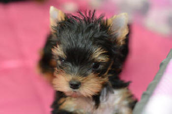 picture of yorkie puppies for sale to good home