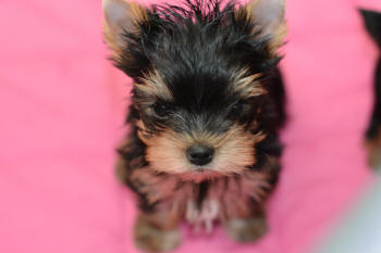 image of yorkie puppies for sale on pink blanket
