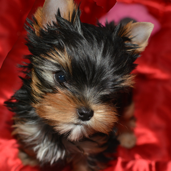 picture of two yorkie puppy girls for sale playing
