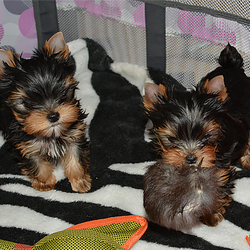 yorkie puppies for sale picture of two of them