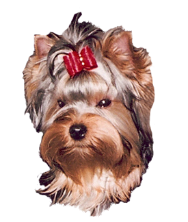 Yorkie for sale from experienced Yorkie Breeder